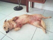 Милая ленивая собака щенка Стоковые Изображения RF