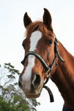 милая лошадь Стоковые Изображения RF