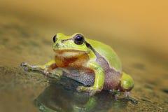 Милая любознательная зеленая древесная лягушка Стоковое Фото