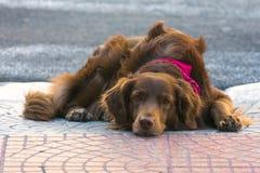 Милая любящая собака кладя на том основании ища любовь и привязанность стоковая фотография