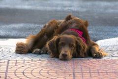 Милая любящая собака кладя на том основании ища любовь и привязанность стоковые изображения