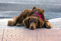 Милая любящая собака кладя на том основании ища любовь и привязанность стоковое фото rf