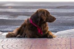 Милая любящая собака кладя на том основании ища любовь и привязанность стоковая фотография rf
