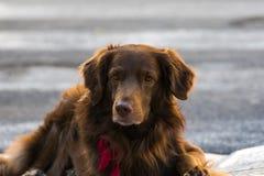 Милая любящая собака кладя на том основании ища любовь и привязанность стоковое изображение rf