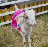 Милая маленькая белая коза с причудливым розовым платьем стоковое изображение rf