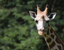 Милая маленькая голова жирафа в одичалом Стоковое Изображение RF