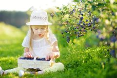 Милая маленькая девочка выбирая свежие ягоды на органической ферме голубики на теплый и солнечный летний день Стоковая Фотография RF