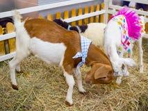 Милая маленькая коричневая коза с причудливым красным платьем и белая коза с причудливым розовым платьем воюют в клетке фермы стоковые изображения