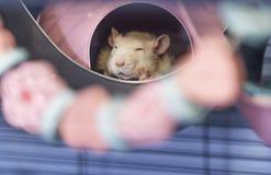 Милая маленькая крыса младенца спать в его кровати стоковое фото rf
