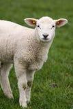 Милая маленькая овечка смотря вас стоковое изображение rf