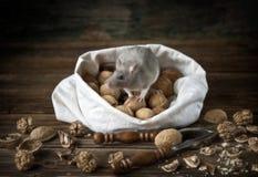 Милая маленькая серая мышь, крыса сидит в сумке грецких орехов и Щелкунчика Натюрморт в винтажном стиле с крысой в реальном машта стоковая фотография rf