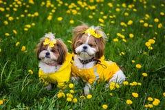 Милая маленькая собака сидя среди желтых цветков в желтых прозодеждах с смычками в зеленой траве в парке Стоковое Фото