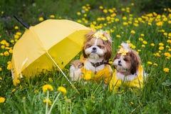 Милая маленькая собака сидя среди желтых цветков в желтых прозодеждах с смычками в зеленой траве в парке Стоковые Фотографии RF