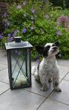 Милая маленькая собака с большими глазами и ушами летания стоковое изображение rf