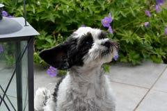Милая маленькая собака с большими глазами и ушами летания стоковые изображения