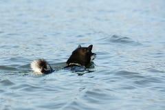 Милая маленькая собака Shiba Inu в воде стоковые изображения