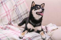 Милая маленькая собака Shiba Inu лежа на кресле стоковая фотография rf