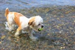 Милая маленькая собака Shih Tzu с шариком на пляже Стоковые Изображения