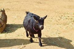 Милая маленькая черная коза на ферме стоковые изображения rf