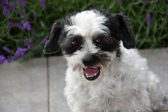 Милая маленькая moggy собака наблюдающ что-то и расшивами стоковое изображение