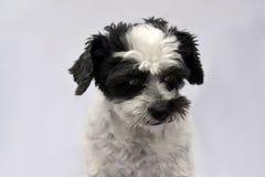 Милая маленькая moggy собака с большими удивленными глазами стоковая фотография rf