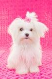 Милая мальтийсная собака щенка Стоковые Фотографии RF