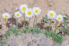 Милая маргаритка или милое bellidiastrum Erigeron Fleabane стоковые изображения rf