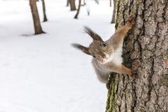 Милая молодая белка сидя на стволе дерева и ища для еды, взгляда крупного плана стоковые фотографии rf