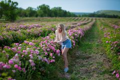 Милая молодая нежная женщина идя в поле роз чая Джинсы белокурой дамы нося и ретро шляпа наслаждаются летним днем стоковые фото