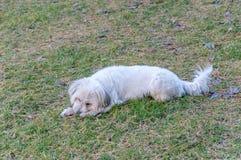 Милая нежная мягкая сладостная меховая собака на луге в Альпах стоковое изображение