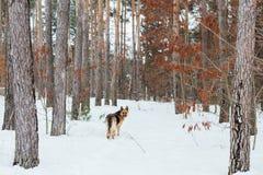 Милая немецкая овчарка в лесе снега в зиме Стоковое Фото