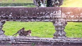 Милая обезьяна макаки при обезьяна матери бежать на лужайках засевает поверхность травой на старом королевстве, Siem Reap, Камбод Стоковые Изображения