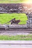 Милая обезьяна макаки при обезьяна матери бежать на лужайках засевает поверхность травой на старом королевстве, Siem Reap, Камбод Стоковые Фото