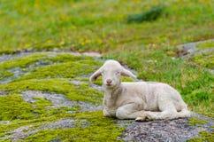милая овечка немногая Стоковое Фото