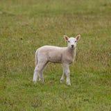 милая овечка Стоковые Изображения