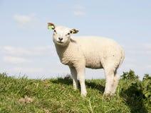 милая овечка Стоковое Фото