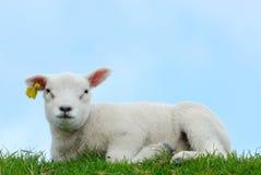 милая овечка Стоковая Фотография
