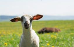Милая овечка Стоковое Изображение RF