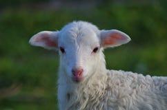 Милая овца в вид спереди Стоковое фото RF
