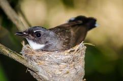 Милая птица крапивниковые ` s Таиланда черно-белая Bewick на своем гнезде в конце вверх стоковая фотография