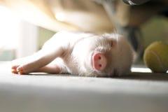 Милая свинья спит на striped одеяле Свинья рождества стоковые фотографии rf