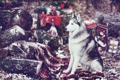 Милая сибирская лайка с венком рождества на шеи сидя на красном одеяле оформление рождества на backgound снежок Стоковое фото RF