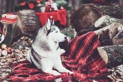 Милая сибирская лайка с венком рождества на шеи сидя на красном одеяле оформление рождества на backgound снежок Стоковое Фото