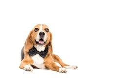 Милая собака бигля лежа в бабочке Стоковые Фото
