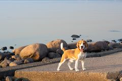 Милая собака бигля на прогулке на береге смотря прямо стоковая фотография rf