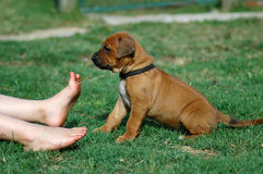 Милая собака и пальцы ноги щенка Стоковые Изображения RF