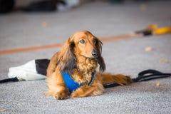 Милая собака коричневого цвета таксы кладя вперед на том основании стоковые фото