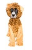 Милая собака льва Стоковые Изображения RF
