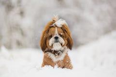 Милая собака на прогулке в снежном дне Собаки Shih Tzu в снеге стоковые фото