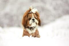 Милая собака на прогулке в снежном дне Собака Shih Tzu в снеге стоковое изображение